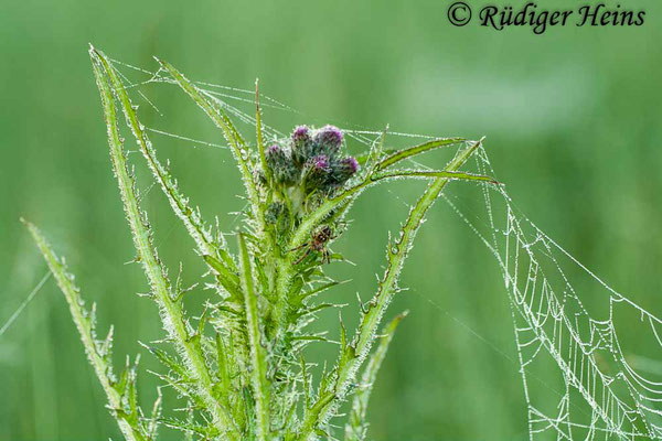 Cirsium palustre (Sumpf-Kratzdistel), 4.6.2010