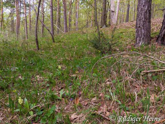 Orchis pallens (Blasses Knabenkraut) Habitat, 1.5.2015