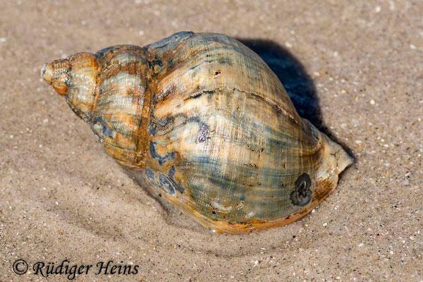 Buccinum undatum (Wellhornschnecke), 17.7.2008