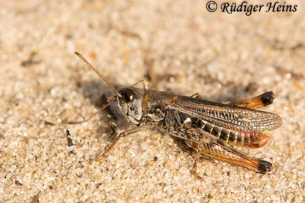 Myrmeleotettix maculatus (Gefleckte Keulenschrecke) Männchen, 16.10.2017