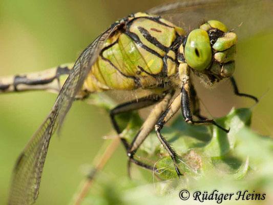 Ophiogomphus cecilia (Grüne Flussjungfer) Männchen, 8.9.2009