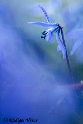 Scilla siberica (Sibirischer Blaustern), 23.3.2020