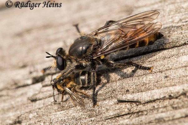Choerades ignea (Zinnober-Mordfliege) Weibchen, 11.9.2020