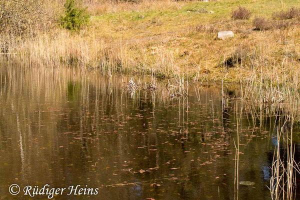 Sympecma fusca (Gemeine Winterlibelle) Fortpflanzungsgewässer, 18.4.2020