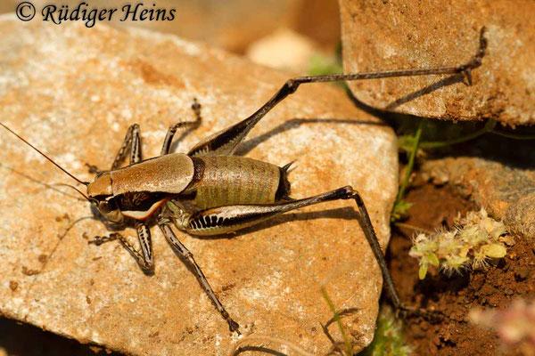 Eupholidoptera smyrnensis Männchen, 13.5.2015
