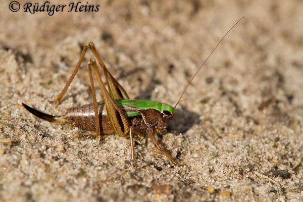 Metrioptera brachyptera (Kurzflügelige Beißschrecke) Weibchen, 14.9.2017