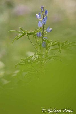 Lupinus angustifolius (Blaue Lupine), 9.7.2021