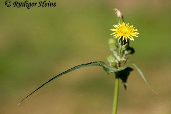 Sonchus oleraceus (Kohl-Gänsedistel), 11.9.2019