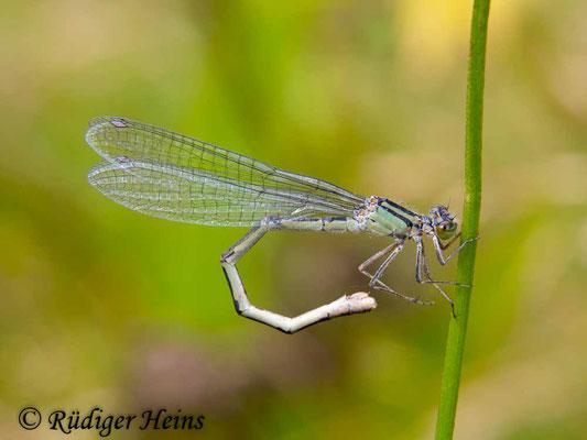 Enallagma cyathigerum (Gemeine Becherjungfer) Weibchen, 16.8.2016