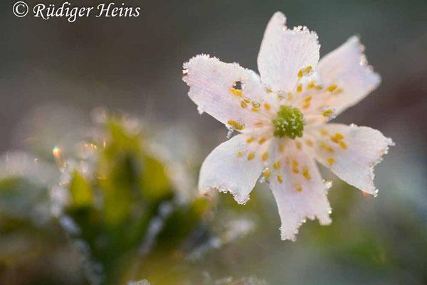 Anemone nemorosa (Buschwindröschen), 26.3.2020