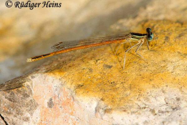 Platycnemis acutipennis (Rote Federlibelle) Männchen, 24.6.2017