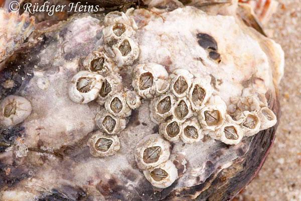Semibalanus balanoides (Gemeine Seepocke), 30.1.2011