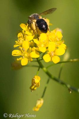 Rorippa palustris (Gewöhnliche Sumpfkresse), 16.6.2021