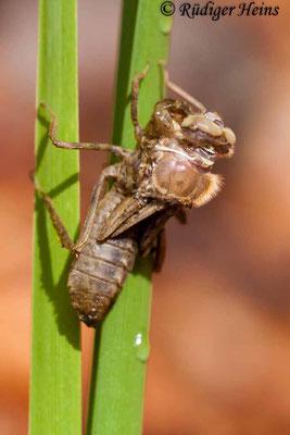 Cordulia aenea (Falkenlibelle) Schlupf, 2.5.2010