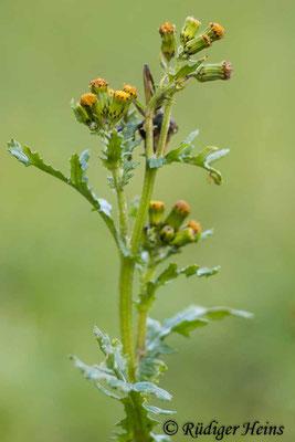 Senecio vulgaris (Gewöhnliches Greiskraut), 30.12.2020
