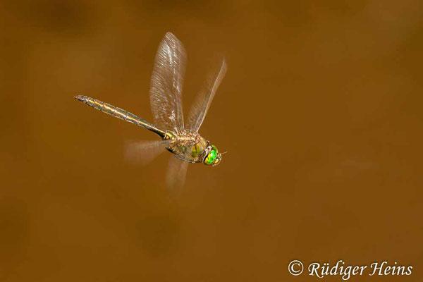 Somatochlora metallica (Glänzende Smaragdlibelle) Männchen, 20.7.2011