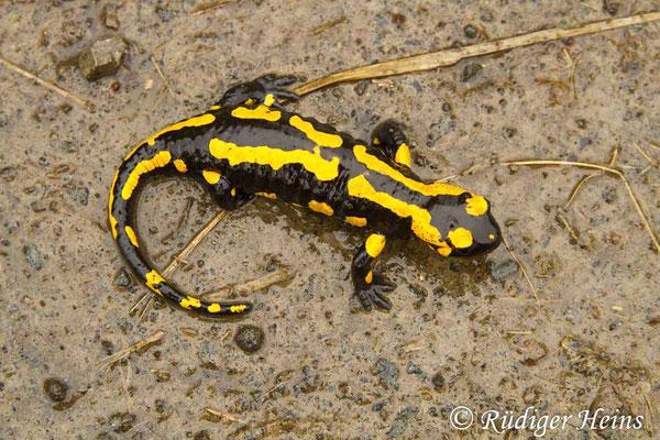 Salamandra salamandra (Feuersalamander), 4.5.2013