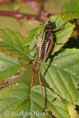 Metrioptera brachyptera (Kurzflügelige Beißschrecke) Männchen, 18.9.2017