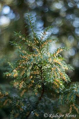 Europäische Eibe (Taxus baccata) männliche Blüte, 30.3.2021 - Pentacolor 50mm f/1,8