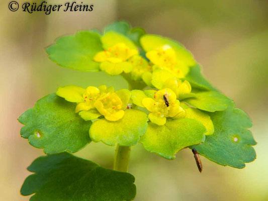 Chrysosplenium alternifolium (Wechselblättriges Milzkraut), 8.4.2012