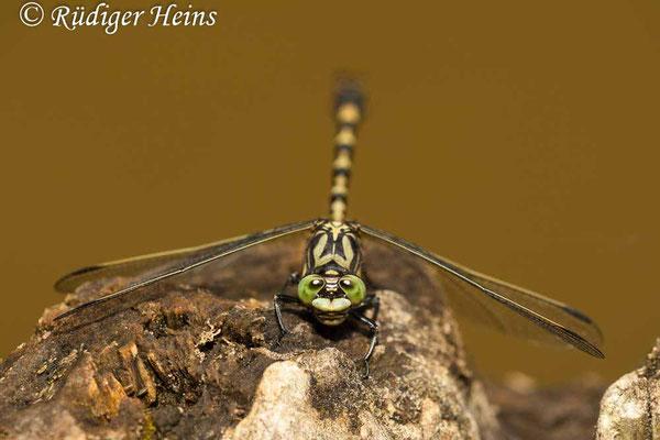 Onychogomphus forcipatus forcipatus (Kleine Zangenlibelle) Männchen, 3.7.2009