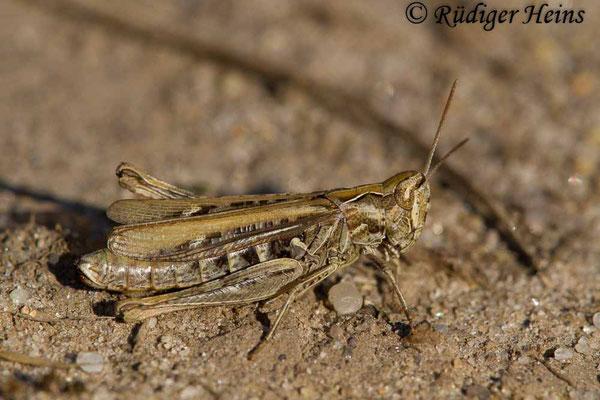 Omocestus haemorrhoidalis (Rotleibiger Grashüpfer) Weibchen, 2.9.2018