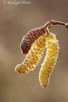 Corylus avellana (Gemeine Haselnuss), 5.2.2020