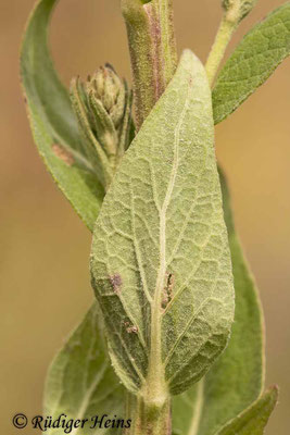Verbascum lychnitis (Mehlige Königskerze), 31.7.2021 - Makroobjektiv 180mm f/3.5