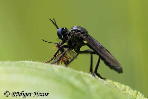 Dioctria atricapilla (Schwarze Habichtsfliege) Männchen, 12.6.2020