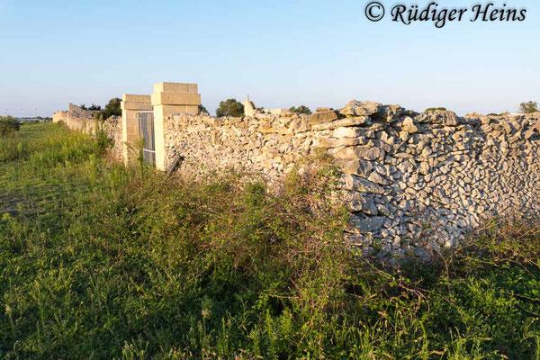 Podarcis sicula (Ruineneidechse) Lebensraum Steinmauer, 25.9.2019