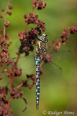 Aeshna mixta (Herbst-Mosaikjungfer) Männchen, 4.9.2010