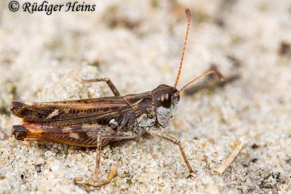 Myrmeleotettix maculatus (Gefleckte Keulenschrecke) Männchen, 18.9.2017