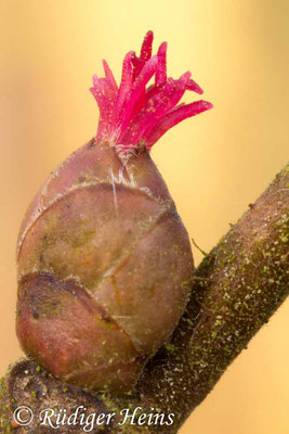 Corylus avellana (Gemeine Haselnuss), 3.3.2017