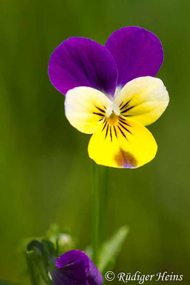 Viola tricolor (Wildes Stiefmütterchen), 14.6.2019