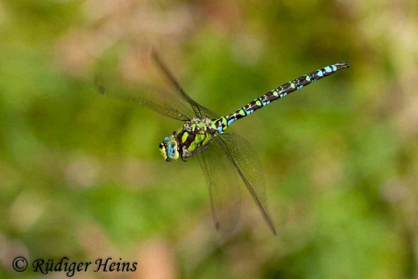 Aeshna cyanea (Blaugrüne Mosaikjungfer) Männchen, 14.8.2010