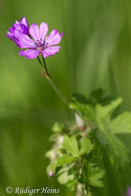 Geranium pyrenaicum (Pyrenäen-Storchschnabel), 30.5.2021