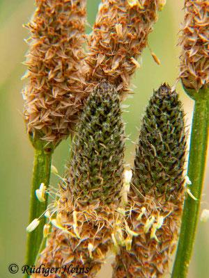 Plantago lanceolata (Spitzwegerich), 14.6.2009