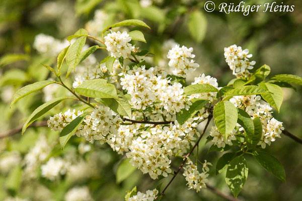 Prunus padus (Gewöhnliche Traubenkirsche), 10.5.2021