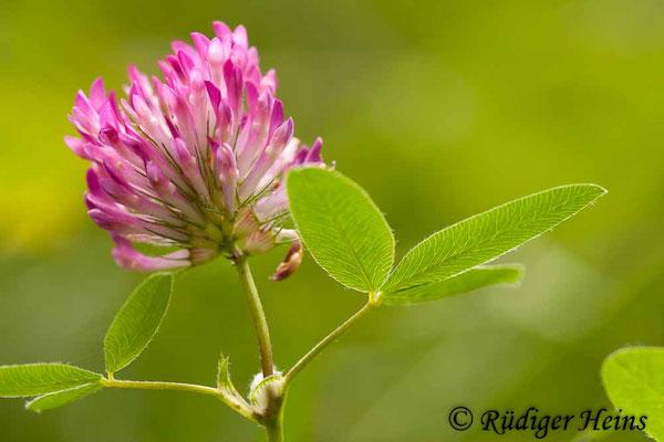 Trifolium pratense (Wiesenklee), 21.7.2011