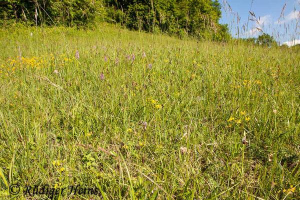 Ophrys holoserica (Hummel-Ragwurz) Habitat, 21.5.2015