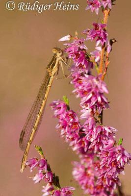 Sympecma fusca (Gemeine Winterlibelle) Weibchen, 15.8.2016