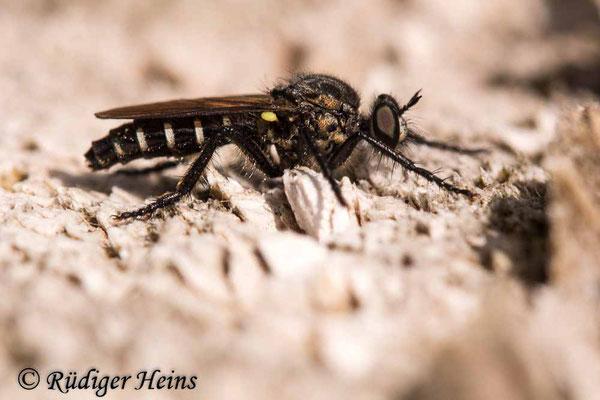Cyrtopogon lateralis (Kleine Makelfliege) Weibchen, 22.7.2020