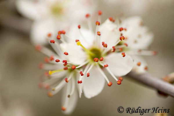 Prunus spinosa (Schlehe oder Schwarzdorn), 5.4.2019