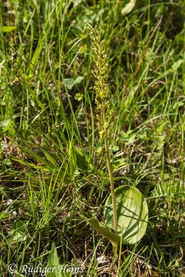 Neottia ovata (Großes Zweiblatt), 19.5.2012