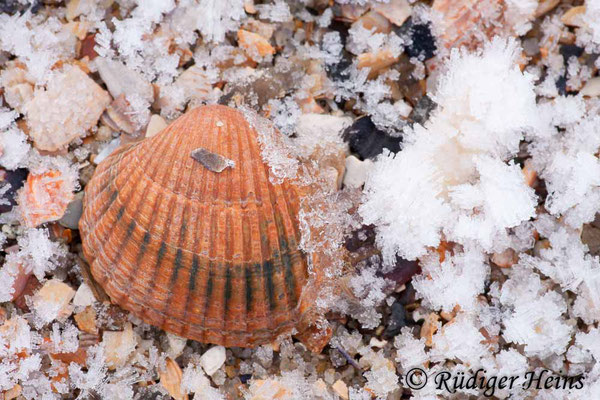 Cerastoderma sp. (Herzmuschel), 30.1.2011