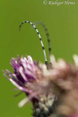 Agapanthia villosoviridescens (Scheckhorn-Distelbock), 10.6.2019