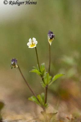 Viola arvensis (Acker-Stiefmütterchen), 18.5.2020
