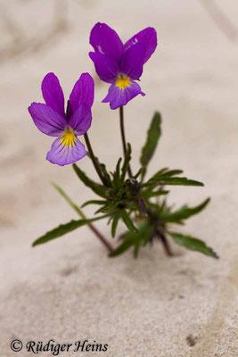 Viola tricolor (Wildes Stiefmütterchen), 3.6.2014
