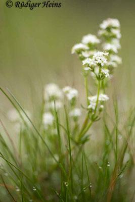 Galium harcynicum (Harzer Labkraut), 12.6.2020