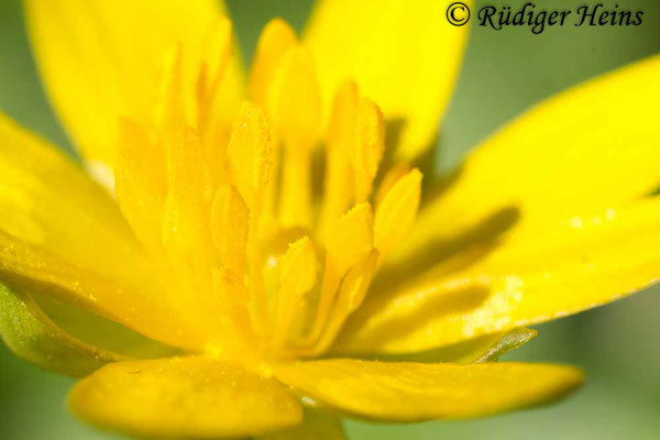 Ranunculus ficaria (Scharbockskraut), 28.4.2013